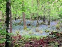 Bois 2 de jacinthe des bois Image libre de droits