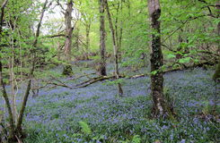 Bois 4 de jacinthe des bois Photo libre de droits