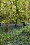 Bois de jacinthe des bois Image stock