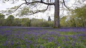 Bois de jacinthe des bois banque de vidéos