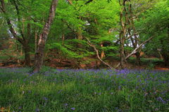 Bois de jacinthe des bois Photographie stock libre de droits