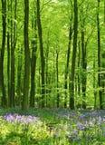 Bois de jacinthe des bois Images stock
