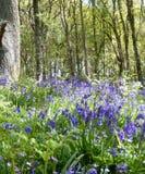 Bois de jacinthe des bois photo libre de droits