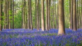Bois de jacinthe des bois de Hallerbos Photographie stock libre de droits