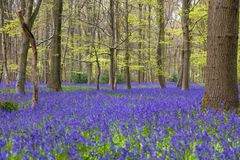 Bois de jacinthe des bois en fleur images stock