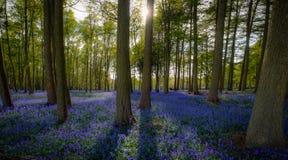 Bois de jacinthe des bois près de Yates brûlé, North Yorkshire images libres de droits