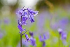 Bois de jacinthes des bois chez Godolphin dans les Cornouailles Angleterre R-U Photo stock