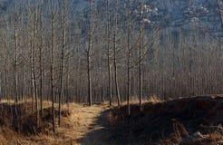 Bois de peuplier dans les collines Photo stock