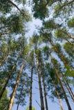Bois de pin. Image libre de droits