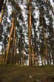 Bois de pin au coucher du soleil Photographie stock libre de droits