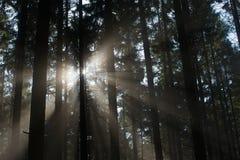 Bois de pin de lumière égarée Photo libre de droits