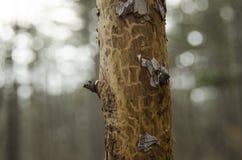 Bois de pin en nature Images stock