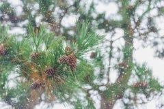 Bois de pin japonais avec l'hiver de neige photo libre de droits