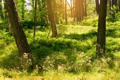 Bois du pin d'été Arbres de sylvestris de pinus de pin écossais ou écossais dans la forêt conifére à feuilles persistantes Photos libres de droits