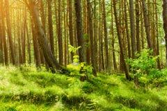 Bois du pin d'été Arbres de sylvestris de pinus de pin écossais ou écossais dans la forêt conifére à feuilles persistantes Photo stock