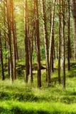Bois du pin d'été Arbres de sylvestris de pinus de pin écossais ou écossais dans la forêt conifére à feuilles persistantes Image stock