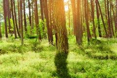Bois du pin d'été Arbres de sylvestris de pinus de pin écossais ou écossais dans la forêt conifére à feuilles persistantes Image libre de droits