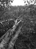 Bois du pin de Tuchola Regard artistique en noir et blanc Image libre de droits