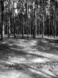 Bois du pin de Tuchola Regard artistique en noir et blanc Images libres de droits