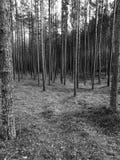 Bois du pin de Tuchola Regard artistique en noir et blanc Photo libre de droits