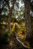 Bois du ` s de chêne Image stock