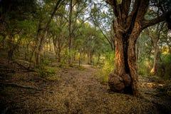 Bois du ` s de chêne Photos libres de droits