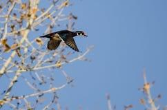 Bois Duck Flying Low Over Autumn Trees photos libres de droits