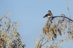 Bois Duck Perched High dans Autumn Tree Tops photo libre de droits