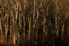 Bois foncés Image libre de droits