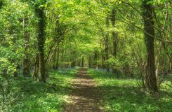 Bois inférieur de chemin de région boisée au printemps, terrain communal d'Ingleston, Gloucestershire photographie stock libre de droits
