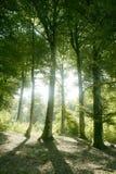 Bois magiques verts de forêt de hêtre images stock