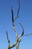 Bois mort dans le dessus d'arbre Images libres de droits