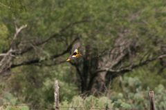 Bois Oriole em voo foto de stock