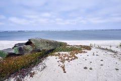Bois pétrifié sur la plage de Silverstrand, San Diego County images libres de droits