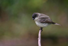 Bois-Pewee oriental images libres de droits