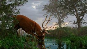 Boisson de matin du ` s de cerfs communs Photo libre de droits