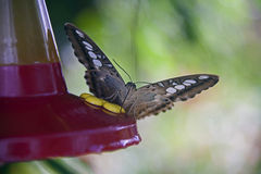Boissons de Butterly de conducteur de colibri Image stock