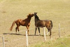 Boisterous horses Stock Images