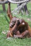 Boisterous Orangutans. This image of two young boisterous Orangutans was captured at Chester Zoo, England, UK Stock Image