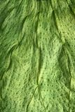 Boj tree green leaf macro closeup texture Stock Photography