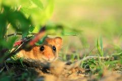 Bojaźliwy śliczny mały zwierzę w naturze zdjęcia stock