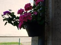 Bojo da mola de Geranien da flor fotos de stock royalty free