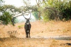 水Bok国家公园乌干达 免版税库存图片