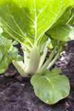 Bok choi or chinese white cabbage Stock Photo