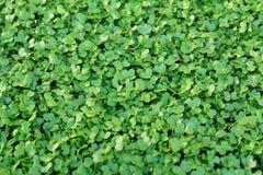 Bok choi seedling Stock Photo