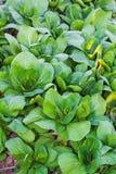 Bok choy (κινεζικό λάχανο), φυτικό Στοκ φωτογραφία με δικαίωμα ελεύθερης χρήσης