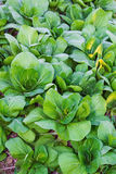 Bok choy (китайская капуста), овощ Стоковое фото RF