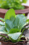 Bok Choy Royalty Free Stock Image