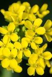 Bok choy bloemen Stock Afbeelding