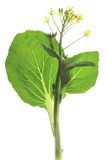 Bok choy (choy Brassica rapa) Obrazy Royalty Free